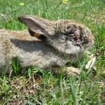Myxomatose bij een konijn